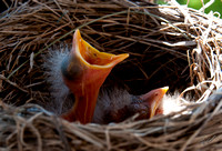 2012-05-12 Baby Robins and nest-104