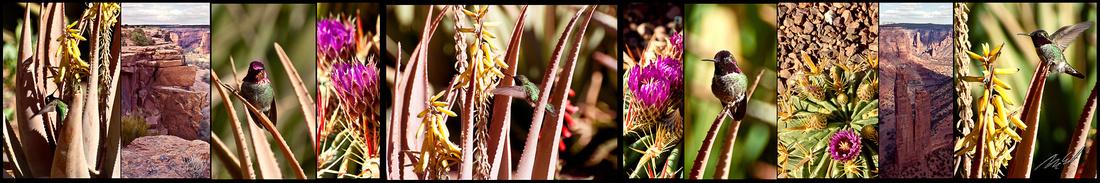 hummingbird desert